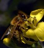 abeille-butineuse_2818